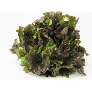 Salat, Batavia rot
