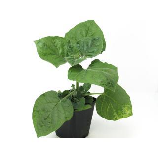 Jungpflanze Andenbeere(Physalis)