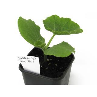Jungpflanze Hokkaido grün